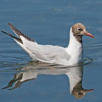 Озерная чайка :: Дмитрий Дмитриев
