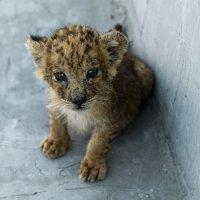 Leopard cub :: Сергей