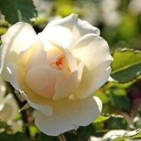 Нежность по имени роза :: Alexander Andronik