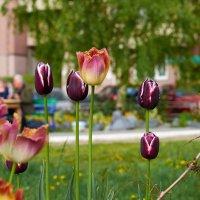 Тюльпаны во дворе :: Сергей Ратушняк