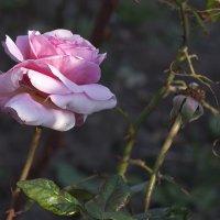Осенняя роза... :: Елена Васильева