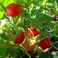 Любимые ягоды :: Стас Борискин