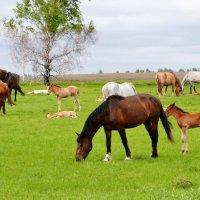 Табун степных лошадей :: николай матюшенков