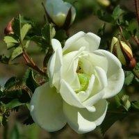 Роза с начинкой... :: Вероника