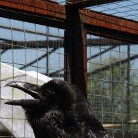 Черный ворон. Парк птиц. :: Yulia Sherstyuk
