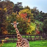 Осенний жираф :: Ксения Базарова