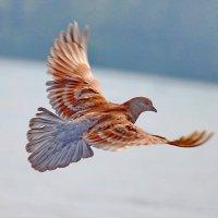 Рыжая голубка. :: Наталья Юрова