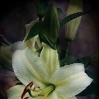 Красивая лилия :: Валентина Жукова