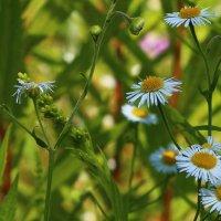 В мире цветов полевых :: Татьяна Ломтева