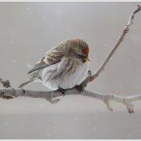 Маленькая птичка чечетка..) :: Tanya S
