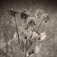 roses :: Юля Рудакова
