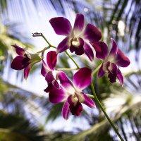 Дикая орхидея (Фаленопсис)... :: Cергей Павлович