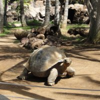 В Лоро парке. Гигантская черепаха :: Елена Павлова (Смолова)