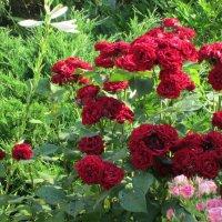 Июньское цветение... :: Тамара (st.tamara)