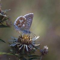 Кавказская бабочка. :: Татьяна Гасс