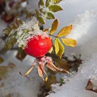 Снег и шиповник 3 :: val-isaew2010 Валерий Исаев