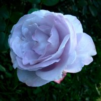Голубая роза :: Aioneza (Алена) Московская