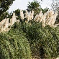 Пампасская трава :: Ирина Шарапова