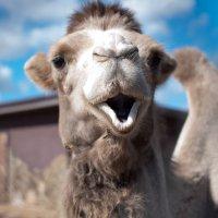Camel :: Lasc1vo Артёмин