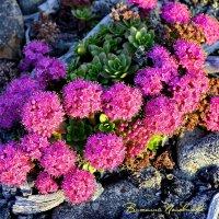 Колымские цветочки растут прямо в камнях.  Колыма 13 :: Виталий Половинко