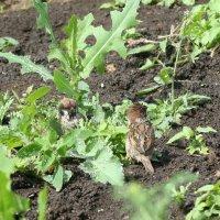 Воробьи  купаются в мокрой траве :: Damir Si