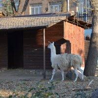 Лама. :: Oleg4618 Шутченко