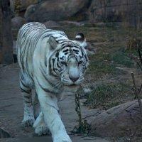 Бенгальский белый тигр. :: Oleg4618 Шутченко