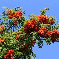 А на тонкой рябине повисли гоьковатые красные гроздья. :: Валентина ツ ღ✿ღ