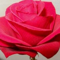 Розовая роза :: Вера Андреева
