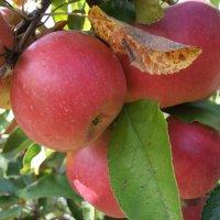 Яблочки наливные :: Тамара