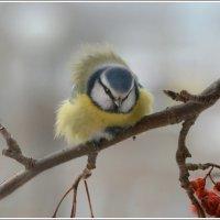 Синичка - лазоревка.. :: Tanya S