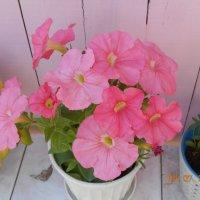 Розовая красавица :: Нина Гребнева