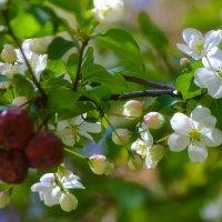Лучше нету того цвета, когда яблоня цветёт, да ещё с прошлогодними яблочками :: Владимир Максимов