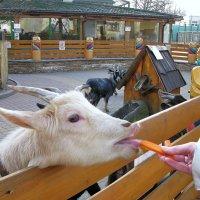 Козочки любят морковку... :: ТАТЬЯНА (tatik)