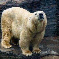 Белый медведь :: Александр Гапоненко