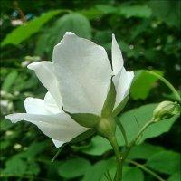 Жасминовый цветик :: Нина Корешкова