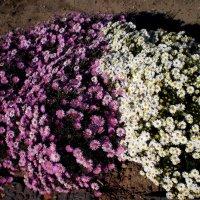 Контраст цветов :: Татьяна Пальчикова