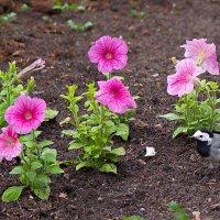 Цветы в монастырском саду. :: Геннадий Александрович