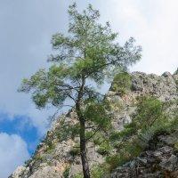 И на камнях растут деревья :: Сергей Человский