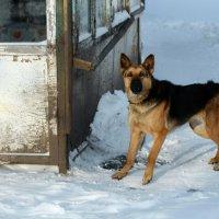 Пёс :: Радмир Арсеньев