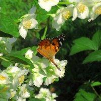 Завтрак бабочки. :: Любовь