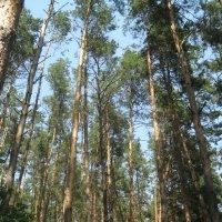 Сосновый лес :: Яна Чепик