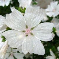 Цветок Мальвы :: laana laadas
