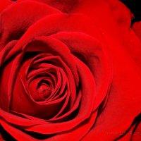 Роза :: Инна - Lasso - Ленкевич