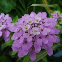 Розовые цветы :: Анатолий