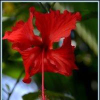 Цветок Гибискуса :: Юлия