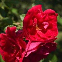 Красота цветов :: Владимир Сквирский