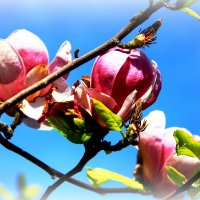 цветок магнолии :: Владимир Артюхов