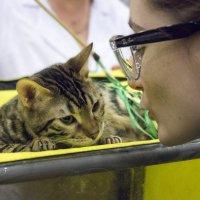 """выставка """"Зоосфера"""", бенгальские кошки :: Sergey Lebedev"""