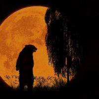 Медведь (из серии ночные силуэты)... :: олег